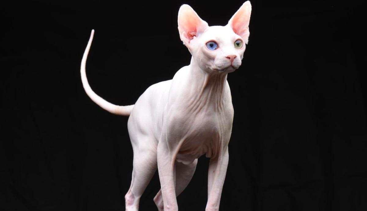 Порода кошек канадский сфинкс: подробное описание и характеристика, отзывы